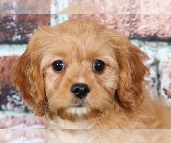 Medium Photo #2 Cavapoo Puppy For Sale in BEL AIR, MD, USA