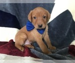 Labrador Retriever Puppy For Sale in LANCASTER, PA, USA