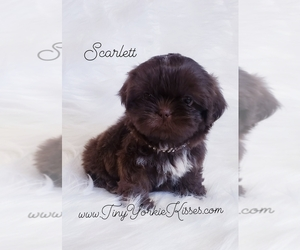 Shih Tzu Puppy for Sale in FAIRFIELD, California USA