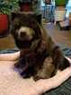 Chow Chow Puppy For Sale in SAPULPA, OK,