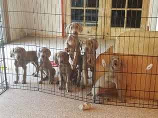 Weimaraner Puppy For Sale in MIAMI, FL, USA