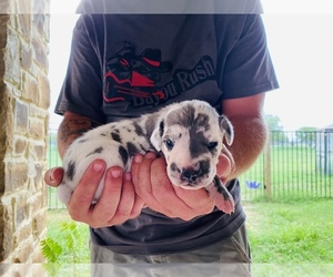 Great Dane Puppy for Sale in DEVINE, Texas USA