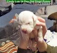 Small Photo #40 Dogo Argentino Puppy For Sale in PINEVILLE, MO, USA