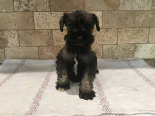 Schnauzer (Miniature) Puppy for sale in VAN NUYS, CA, USA