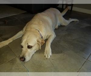 Labrador Retriever Puppy for sale in LAKELAND, FL, USA