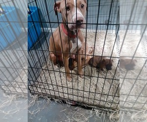 American Pit Bull Terrier Dogs for adoption in VICTORIA, TX, USA