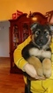 German Shepherd Dog Puppy For Sale in LONGVIEW, WA,