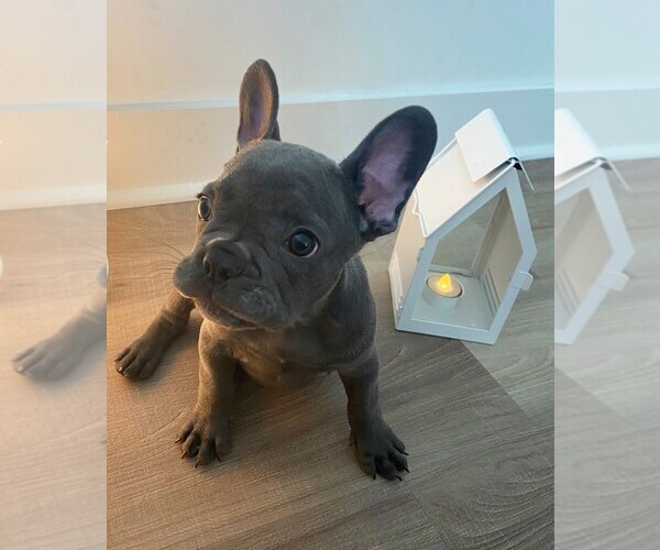 Medium Photo #9 French Bulldog Puppy For Sale in JERSEY CITY, NJ, USA