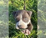 Puppy 5 American Bully