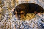 Puppy 4 Basset Hound