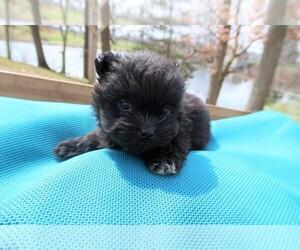 Shiranian Puppy for sale in JACKSON, MI, USA