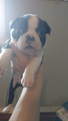 American Boston Bull Terrier Puppy For Sale in STOCKTON, MO, USA