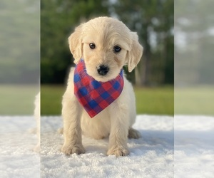 Goldendoodle Puppy for sale in FROSTPROOF, FL, USA