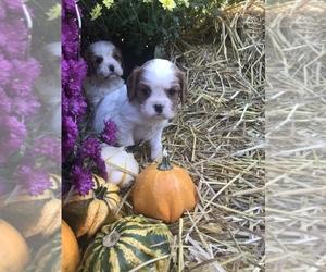Cavalier King Charles Spaniel Puppy for Sale in STE GENEVIEVE, Missouri USA