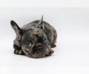 French Bulldog Dog for Adoption in PACIFIC PALISADES, California USA