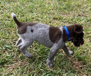 German Shorthaired Pointer Puppy for Sale in SUMMERVILLE, South Carolina USA