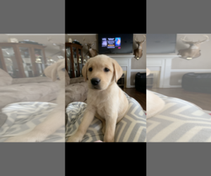 Labrador Retriever Puppy for Sale in ZEBULON, North Carolina USA