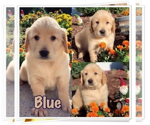 Golden Retriever Puppy for Sale in MARIETTA, Georgia USA