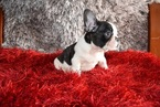 French Bulldog Puppy For Sale in RICHMOND HILL, NY, USA