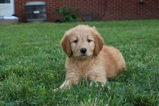 Goldendoodle Puppy For Sale in FALKVILLE, AL, USA