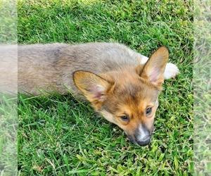 Pembroke Welsh Corgi Puppy for Sale in JURUPA VALLEY, California USA