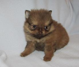 View Ad Pomeranian Puppy For Sale Oklahoma Howe Usa