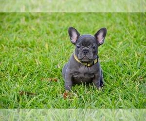 French Bulldog Puppy for sale in LAKE WORTH, FL, USA