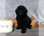Small Labradoodle-Poodle (Miniature) Mix