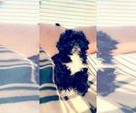 Small #2 Pekingese-Poodle (Toy) Mix