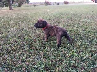 Boerboel Puppy For Sale in CONCORD, VA