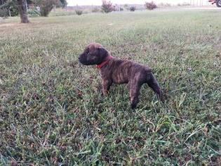 Boerboel Puppy For Sale in CONCORD, VA