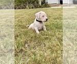 Small #9 Dogo Argentino