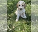 Puppy 5 Poodle (Miniature)