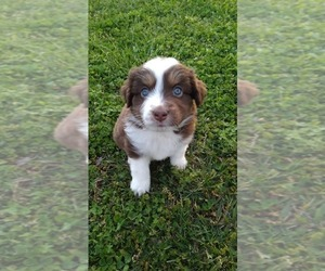 Miniature Australian Shepherd Puppy for sale in PRAIRIE GROVE, AR, USA