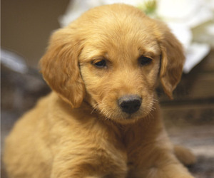 Golden Retriever Puppy for Sale in FREDONIA, Kentucky USA