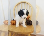 Small #2 Bernedoodle-Goldendoodle Mix