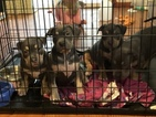 American Bully Puppy For Sale in JOLIET, IL, USA