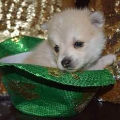 Maltese-Siberian Husky Mix Puppy for sale in MANKATO, MN, USA