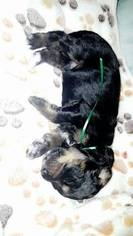 Bernese Mountain Poo Puppy For Sale in WINTER, WI, USA
