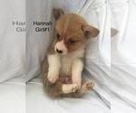 Pembroke Welsh Corgi Puppy For Sale near 74061, Ramona, OK, USA