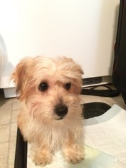 Yo-Chon Puppy For Sale in EUGENE, OR