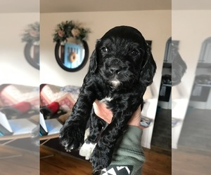 Cavapoo Dog for Adoption in EAST VINELAND, New Jersey USA