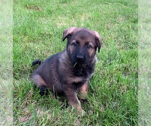 German Shepherd Dog Puppy for Sale in DEERFIELD, Ohio USA
