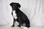 Sheprador Puppy For Sale in FREDERICKSBURG, OH, USA