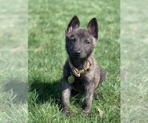 Dutch Shepherd Dog Puppy for sale in FAIRFAX, VA, USA