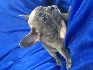 French Bulldog Puppy For Sale in SAINT PETERSBURG, FL, USA