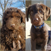 Labradoodle Puppy For Sale in BRAZIL, IN, USA