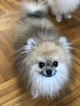 Pomeranian Puppy For Sale in WOODSIDE, NY, USA