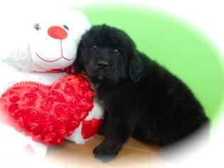 Golden Mountain Dog Puppy For Sale in HAMMOND, IN