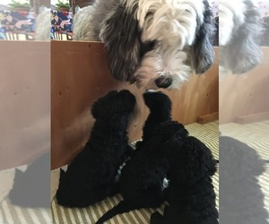 Sheepadoodle Puppy for sale in MEDFORD, OR, USA